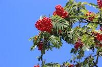 Eberesche Sorbus aucuparia