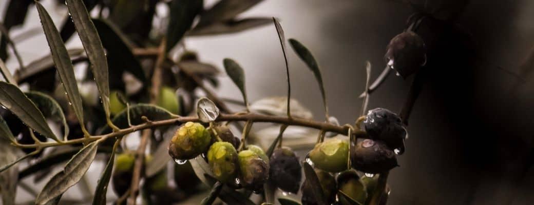 Blog Aroma Greek Finest Products - Oliven im Regen
