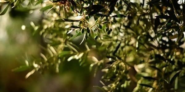 Olivenöl Guide