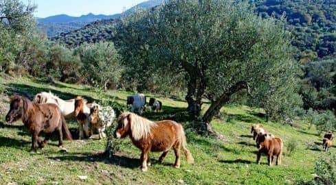 Greek Pony Farm P.D.O. Kalamata natives Olivenöl extra 500ml