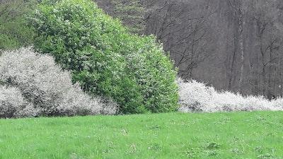 Schlehe Prunus spinosa