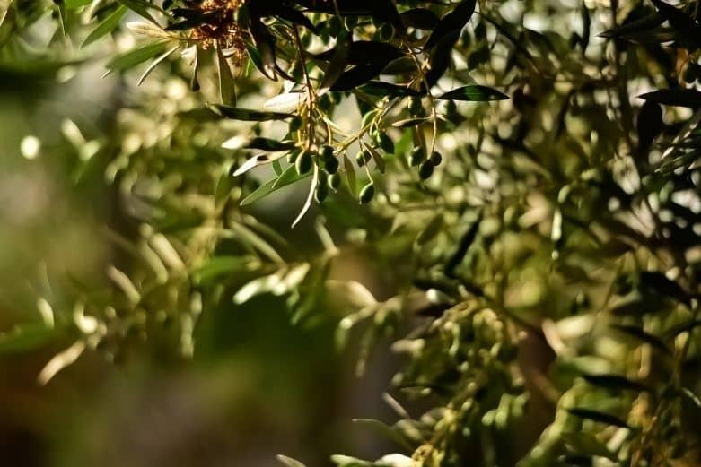 Olivenöl Guide - Wissenswertes über Olivenöl